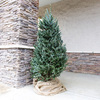 6-7-ft Fresh Fraser Fir Christmas Tree