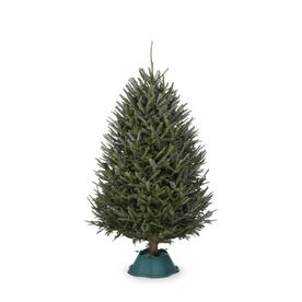 6-ft to 7-ft Fresh-Cut Fraser Fir Christmas Tree