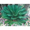 2.5-Quart Sago Palm (Ltl0026)
