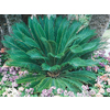 28.5-Gallon Sago Palm (Ltl0026)