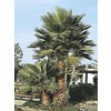 3.25-Gallon Mexican Fan Palm (L3048)