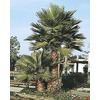 28.5-Gallon Mexican Fan Palm (L3048)