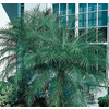 76-Gallon Pygmy Date Palm (LTL0059)