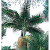 10.25-Gallon King Palm (L6257)