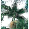 13-Gallon King Palm (L6257)