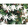3.61-Gallon Star Jasmine (L8609)