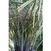  10.25-Gallon Butia Palm Tree (L14448)
