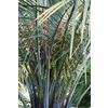 28.5-Gallon Butia Palm (L14448)