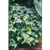 81-Count English Ivy (L5369hp)