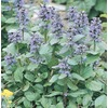 1-Flat Carpet Bugleweed (L16614)