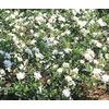3.61-Gallon White Gardenia Flowering Shrub (L5150)