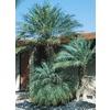 2.25-Gallon Pygmy Date Palm (L7542)