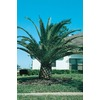  11.1-Gallon Canary Island Date Palm (L7541)