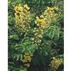 2.33-Gallon Yellow Mexican Bird of Paradise Flowering Shrub (L7485)