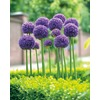Garden State Bulb Gladiator Allium Bulb