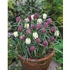 Garden State Bulb 15-Pack Checkered Lily Fritillarias