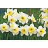 Garden State Bulb 8-Pack Ice Follies Daffodils