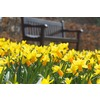 Garden State Bulb 8-Pack Jetfire Daffodils