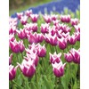 Garden State Bulb 10-Pack Claudia Tulips