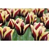 Garden State Bulb 10-Pack Gavota Tulips