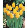 Garden State Bulb 10-Pack Golden Oxford Tulip Bulbs