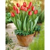 Garden State Bulb 10-Pack Red Impression Tulip Bulbs