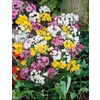 Garden State Bulb 30-Pack Miniature Mix Globe Alliums