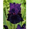 Garden State Bulb 3-Pack Davy Jones Bearded Iris (LB20133)