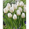 Garden State Bulb 18-Pack City of Vancouver Tulips