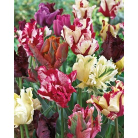 Garden State Bulb 15-Pack Parrot Blend Tulip Bulbs