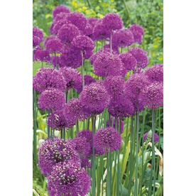 Garden State Bulb 15-Pack Purple Sensation Alliums