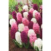Garden State Bulb 8-Pack Pink Blend Hyacinth Bulbs