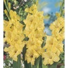 Garden State Bulb 10-Pack Nova Lux Gladiolus Bulbs