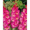 Garden State Bulb 10-Pack Windsong Gladiolus