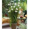 Garden State Bulb 20-Pack Star Gladiolus Bulbs