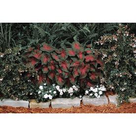 Garden State Bulb 5-Pack Florida Cardinal Caladium (LB21789)