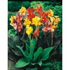 Garden State Bulb 8-Pack Mixed Canna Lily (LB3461B)