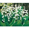 Garden State Bulb 8-Pack Lily of The Valley (L8114)