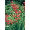 Garden State Bulb 12-Pack Tall Flowering Red Crocosmia (LB22250)