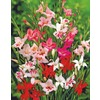 Garden State Bulb 20-Pack Mixed Nanus Gladiolus Bulbs