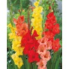 Garden State Bulb 20-Pack Mixed Tropical Sunrise Gladiolus