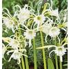 Garden State Bulb 3-Pack Peruvian Daffodil Bulbs
