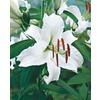 Garden State Bulb 6-Pack Casa Blanca Oriental Lily (L16048)