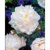 Garden State Bulb 1-Pack Shirley Temple Peony (L8652)