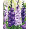 Garden State Bulb 40-Pack Mixed Blue Shades Gladiolus Bulbs