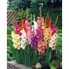 Garden State Bulb 40-Pack Mixed Gladiolus Bulbs