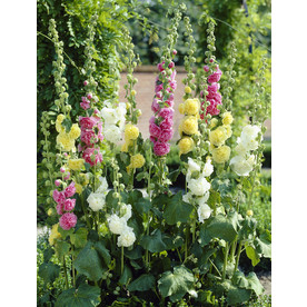 Garden State Bulb 10-Pack Double Mixed Hollyhock (LB22251)