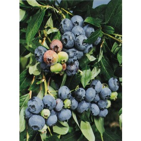 Garden State Bulb 1-Pack Jersey Blueberry Small Fruit (L8707)