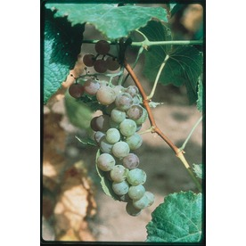 Garden State Bulb 1-Pack Himrod Seedless Grape Small Fruit (L1314)