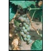 Garden State Bulb Himrod Seedless Grape (L1314)